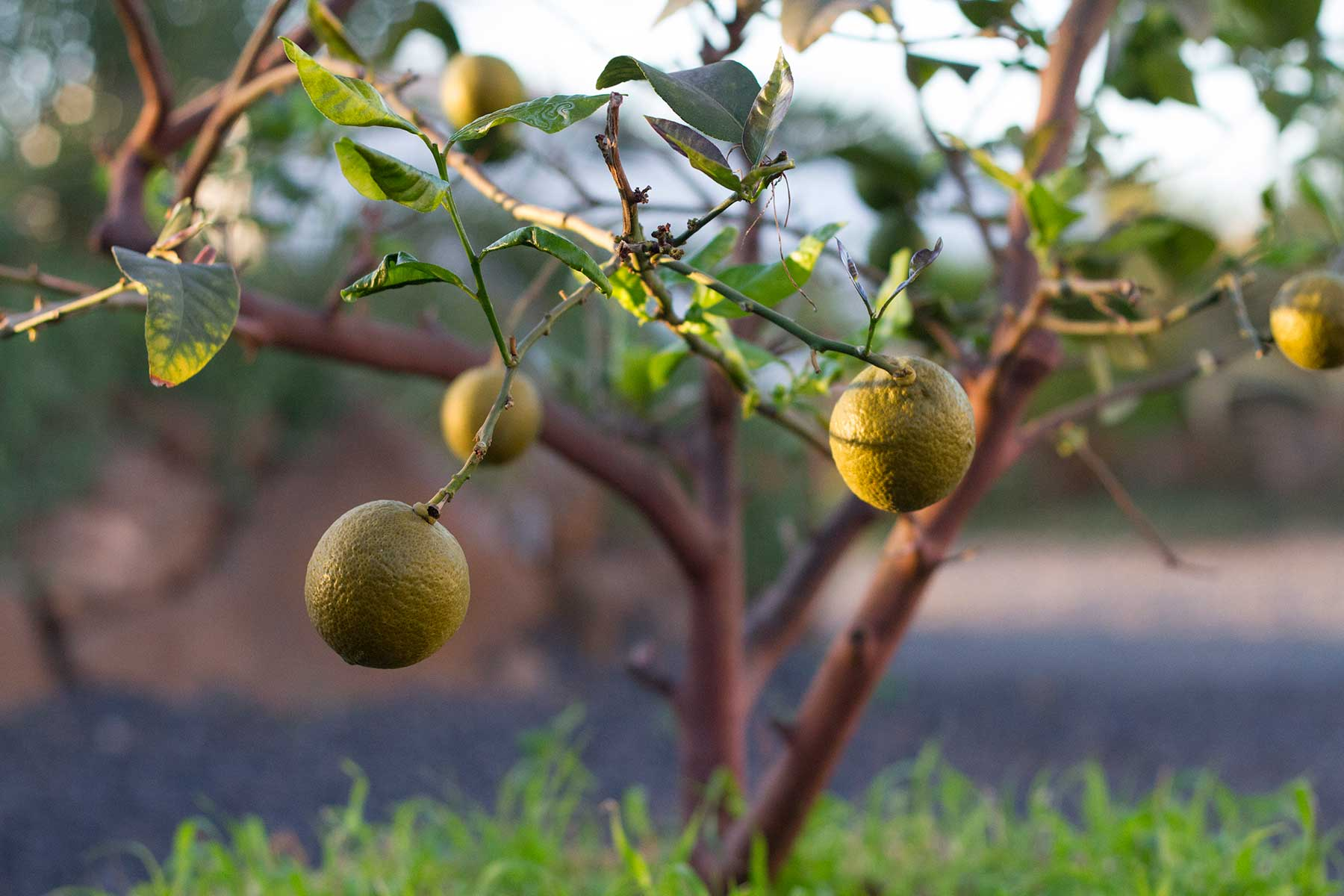 7 Lemons House